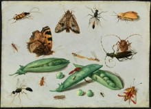 "Jan van Kessel II, Flemish, 1626–1679, ""Peapods and Insects,"" ca. 1650"